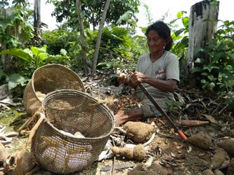 Palmira, a Desana woman, working on manioc tubers (Kii) in her own graden (wehse) (Melissa Santana de Oliveira, 2014)