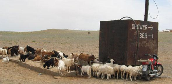 Goats in the Gobi Desert